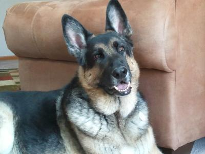 Briggs, My German Shepherd