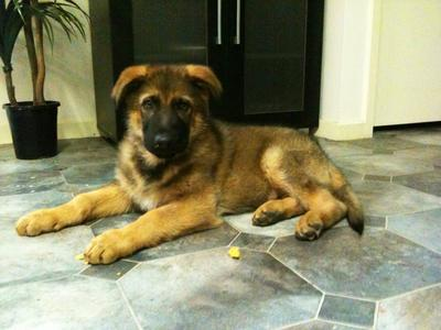 Meet Red Sable Gsd Puppy Titan