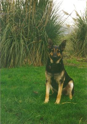 My Beloved German Shepherd Dog, Frasier