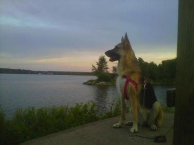 Kaia, the German Shepherd