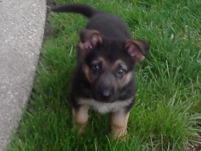 what a cute German Shepherd puppy