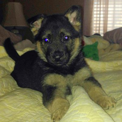 My German Shepherd Puppy, Dakota posing