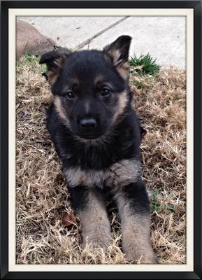 My German Shepherd Puppy, Dakota outside