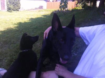 Ulrich and the other Tiefschwarz GSD that lives in town.