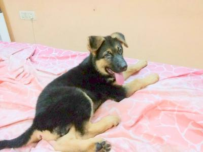 German Shepherd Puppy Rusty (Now)