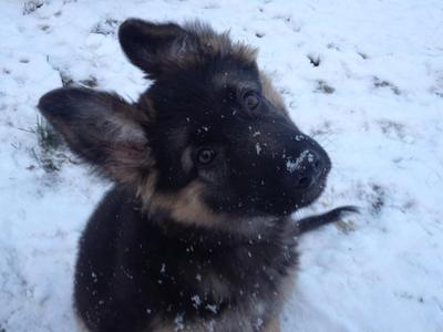 Tsunami's my 9 mon old baby German Shepherd puppy