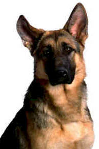 German Shepherd head