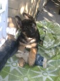 Wagter the Ultra Cute German Shepherd Puppy