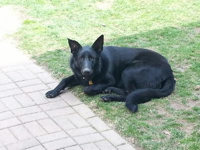 Sonny the Black German Shepherd