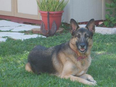 Annabelle the German Shepherd Dog