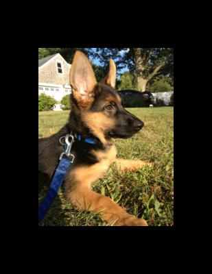 German Shepherd Puppy Dolce at 10 weeks