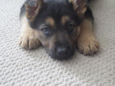 Day 1, German Shepherd Puppy, Baron