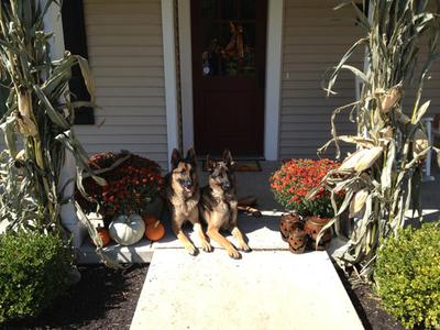 German Shepherd Dogs, Sampson and Delgado
