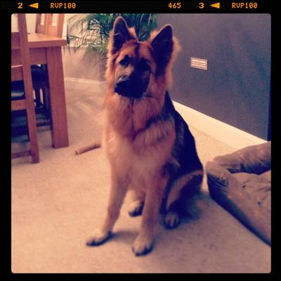 German Shepherd Pedro at 8 months