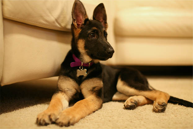 How Much A German Shepherd Costs To And Own