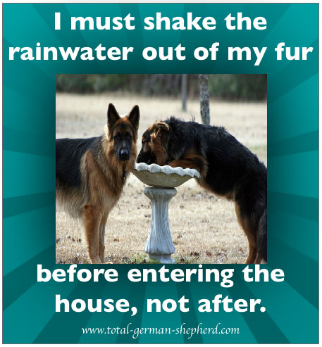 rainwater German Shepherd captioned image