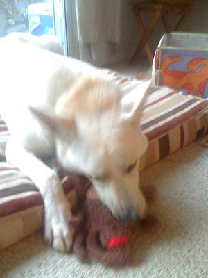 White GSD Summit with his toy