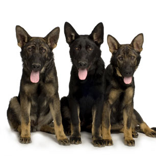 sable German Shepherd puppies