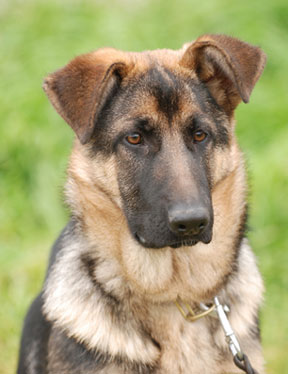 german shepherd sable pattern multi color bands appear on each individual hair - Sable Color