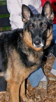 Scarlet the German Shepherd Dog