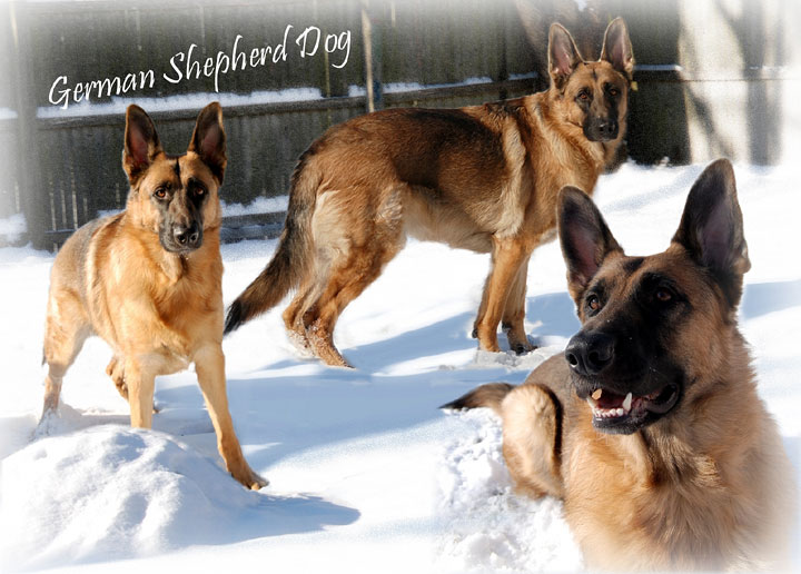 German Shepherd snow day Wallpaper