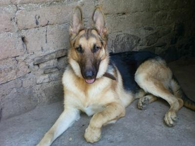 Spanish Dog Names For Our German Shepherds