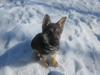 Ears standing up. 10.5 weeks GSD Puppy Baron