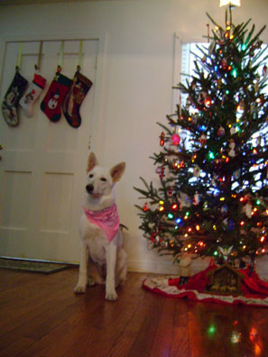 Hello, i have a white german shepherd female, 9 months old.
