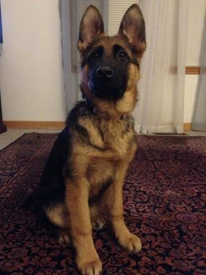 What a pretty female German Shepherd