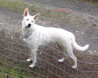white German Shepherd by fence