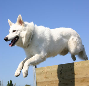 white GSD jumping