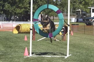 GSD sports and activities - German Shepherd sports