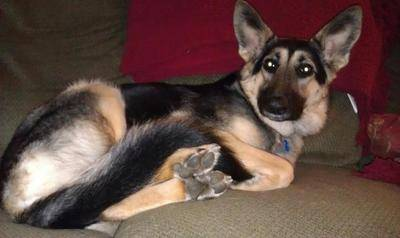 German Shepherd Sofi Is Small And Petite 48 Lbs At 20 Months