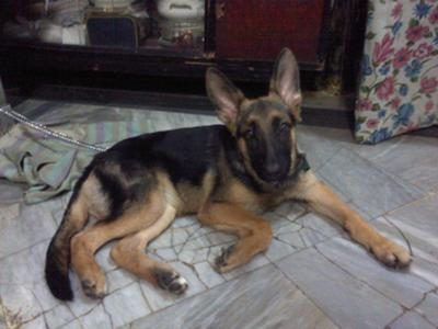 My 3 month old GSD