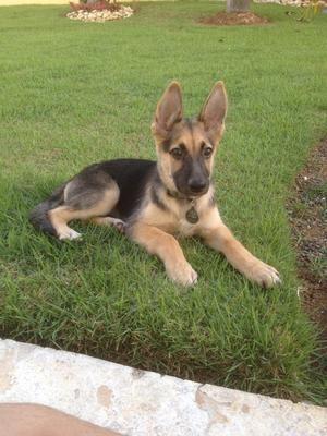 What a cute German Shepherd puppy don't you agree?!