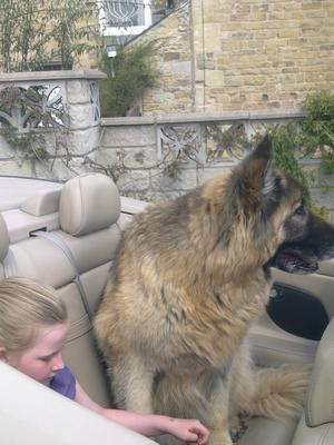 Happy days, German Shepherd Buster with Paige