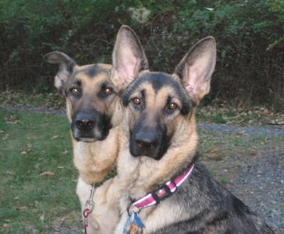 This is Vicious(in the back) and our friends shepherd Mia(in the front)