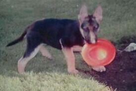 GSD Hans Luger playing frisbee