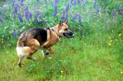 German Shepherd Lacey playing
