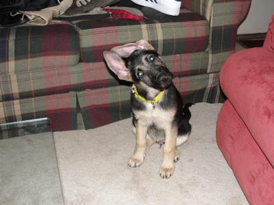 Our GSD puppy Mercedes