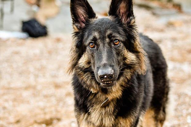 The Costs Of Buying And Raising A German Shepherd Puppy