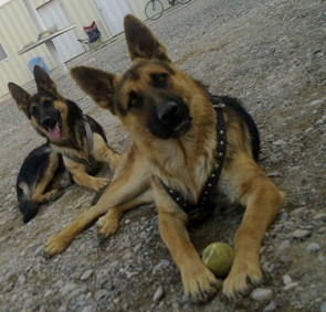 My GSDs